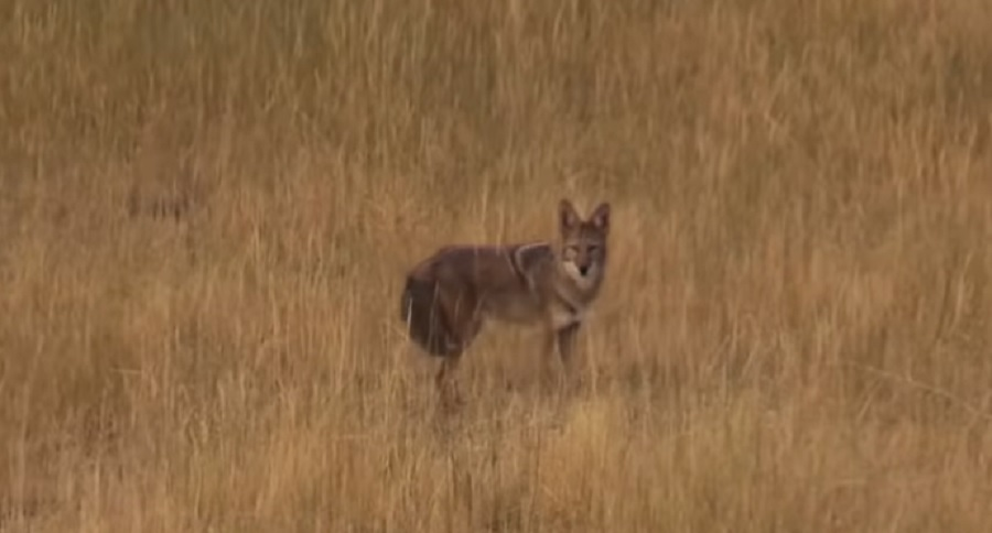 COUNT 'EM: 90 COYOTE DIRT NAPS CAUGHT ON VIDEO