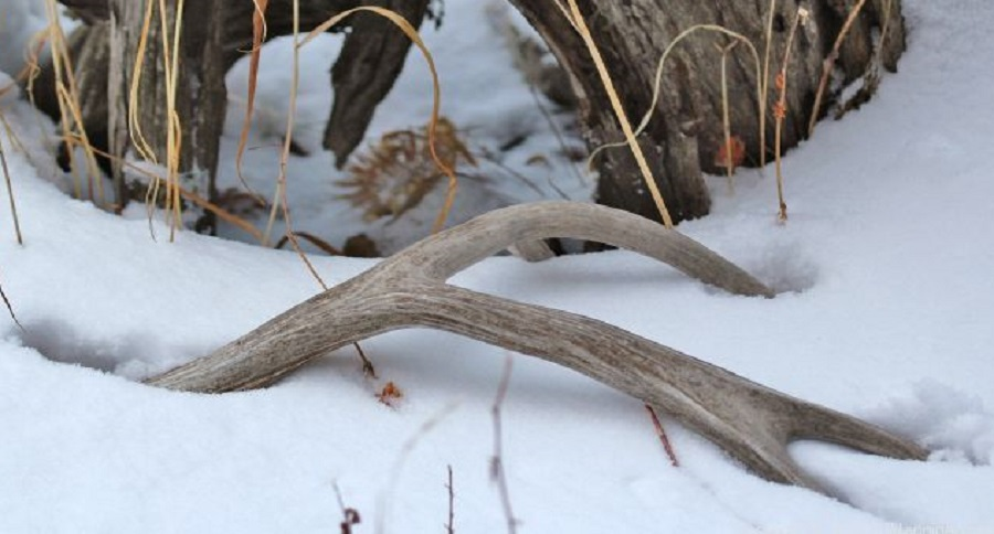 SHED HUNTING TIPS THAT WILL REAP WHITE GOLD