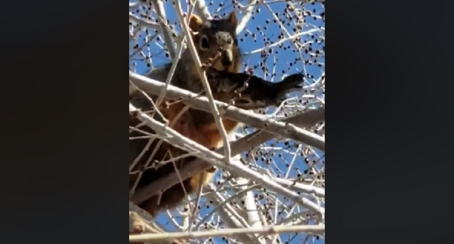 SQUIRREL HAS THE TASTE FOR MEAT (BIZARRE VIDEO)