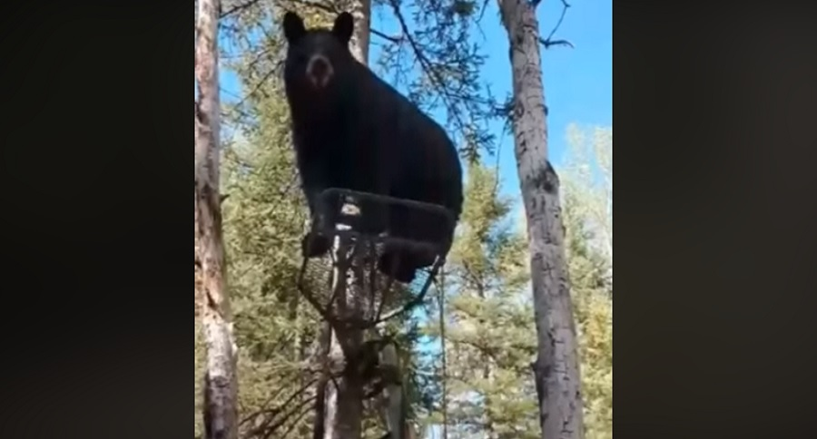 TREESTAND LOUNGING BEAR GETS KICKED OUT BY HUNTER