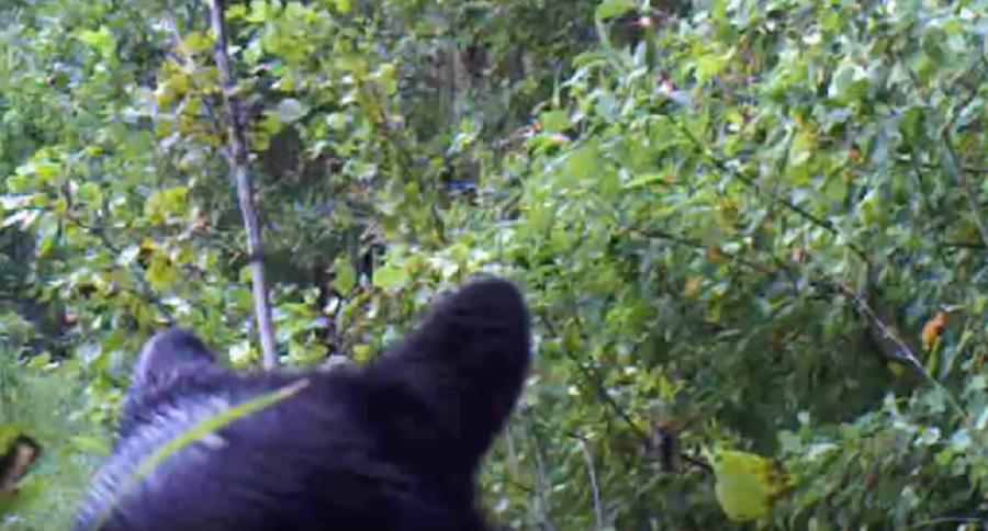 CAUGHT ON VIDEO: BLACK BEAR VS. GAME CAMERA