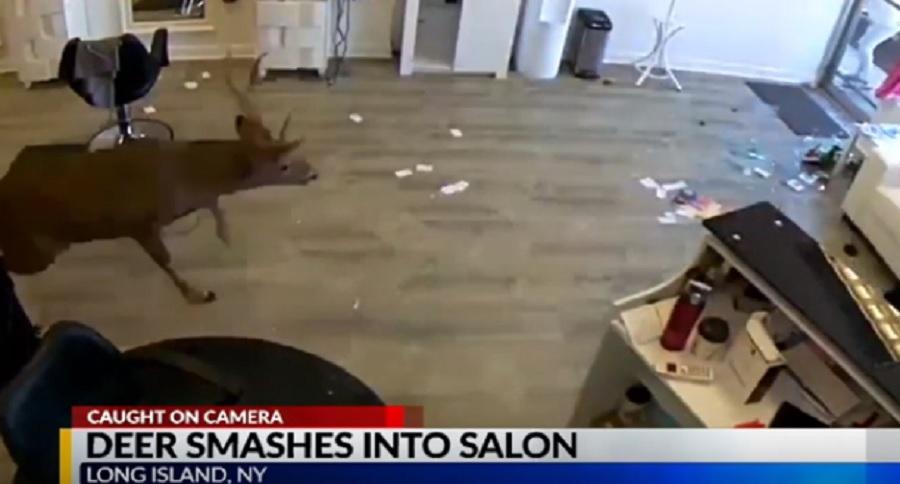 BUCK IN RUT DESTROYS SALON (VIDEO)